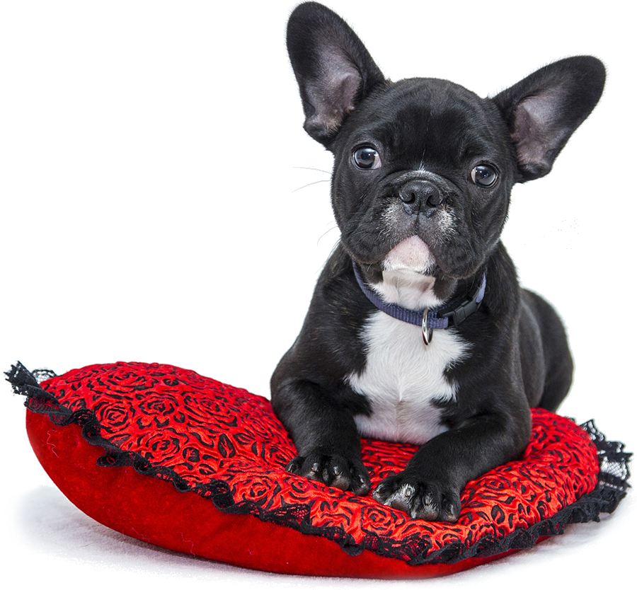 frenchie on pillow