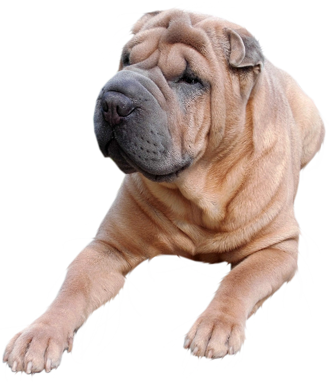 laying shar pei